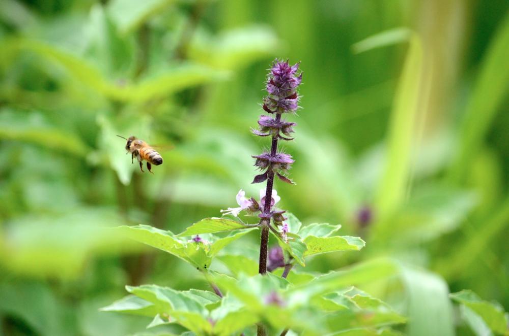 紫色のトゥルシー(ホーリーバジル)の花とミツバチ