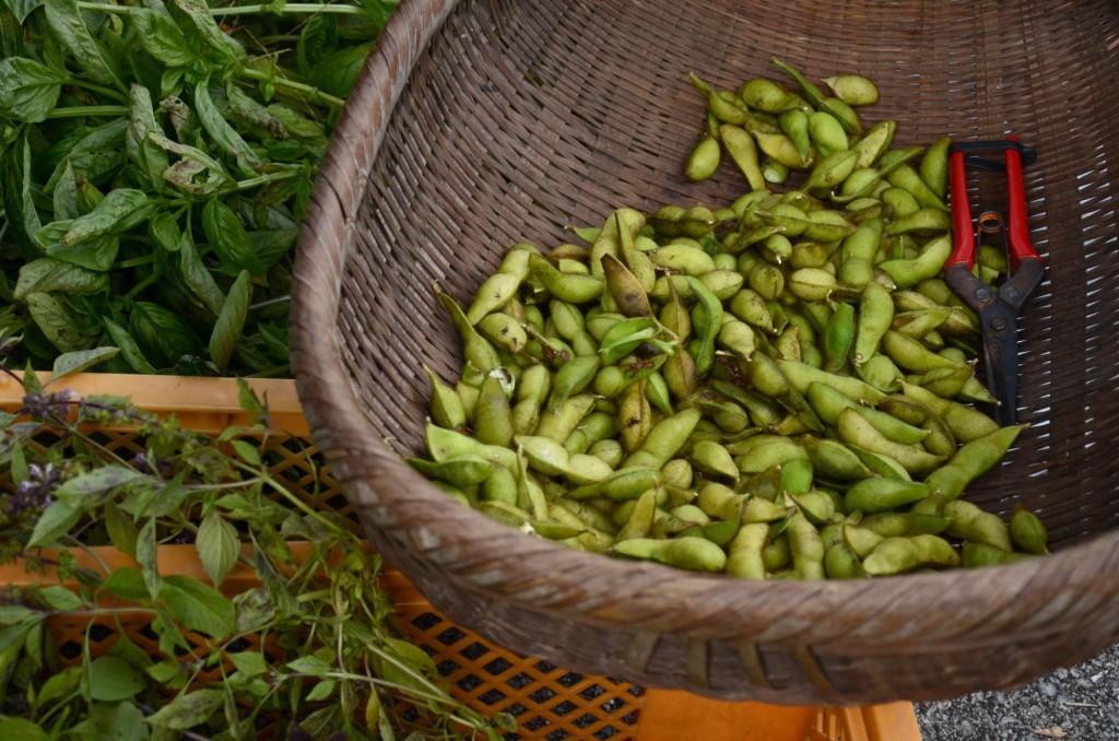 大豆の収穫 枝豆